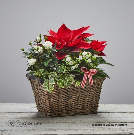Colours of Christmas Planted Basket