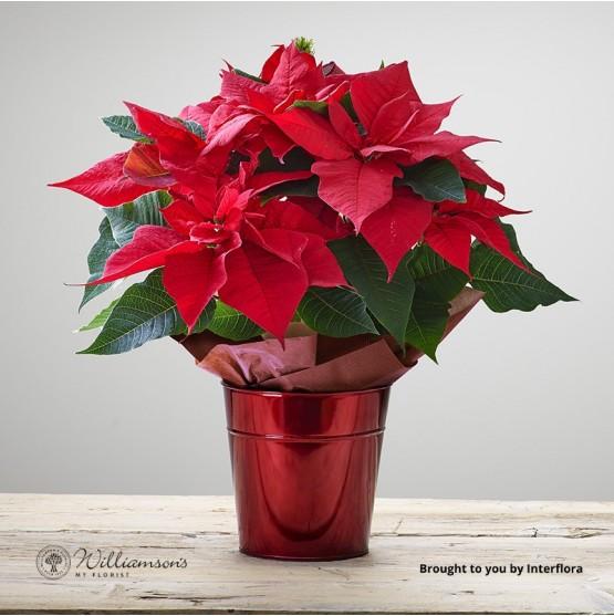 Chrimson Poinsettia Star Tin