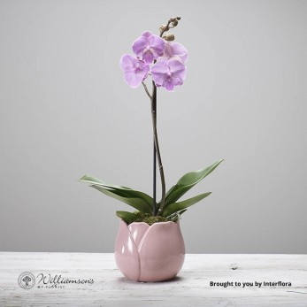 Phalanopsis plant in tulip design ceramic pot.