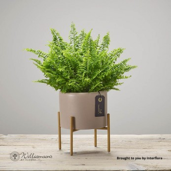Boston Fern In Grey Pot With Gold Feet.