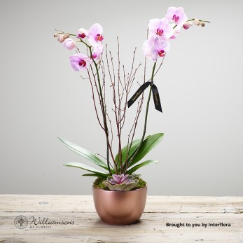 Orchid Pearl plant