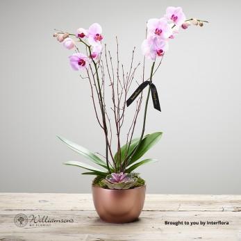 Deluxe Orchid plant Arrangement